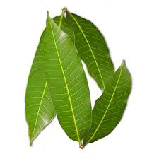Mango Leaves